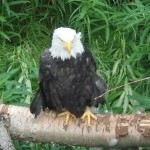 A grumpy, disheveled looking bald eagle at the zoo.
