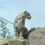 While not local, this snow leopard is a beautiful animal.