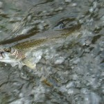 The trout I caught on a fly while everybody else was flossing for salmon.