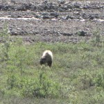 We were lucky to see 6 bears that day.