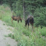Near the sled dog kennels, this mother and baby moose pair crossed the road in front of us.