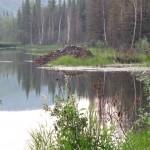 Beaver mound in Chena SRA.