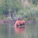 Female moose on one side of the road in Chena SRA, with low sun behind me.