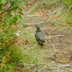 On the way up the trail, I spotted this bird, a Spruce Grouse, I think.