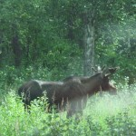 Lizzie saw this moose while out on the sled dog run.
