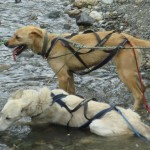Sled dogs cooling off during their workout.
