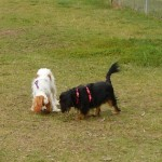 Toby and Daisy at a big fenced dog park.