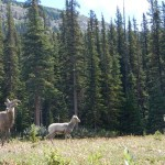 A group of mountain sheep, a young male, lamb, and female.
