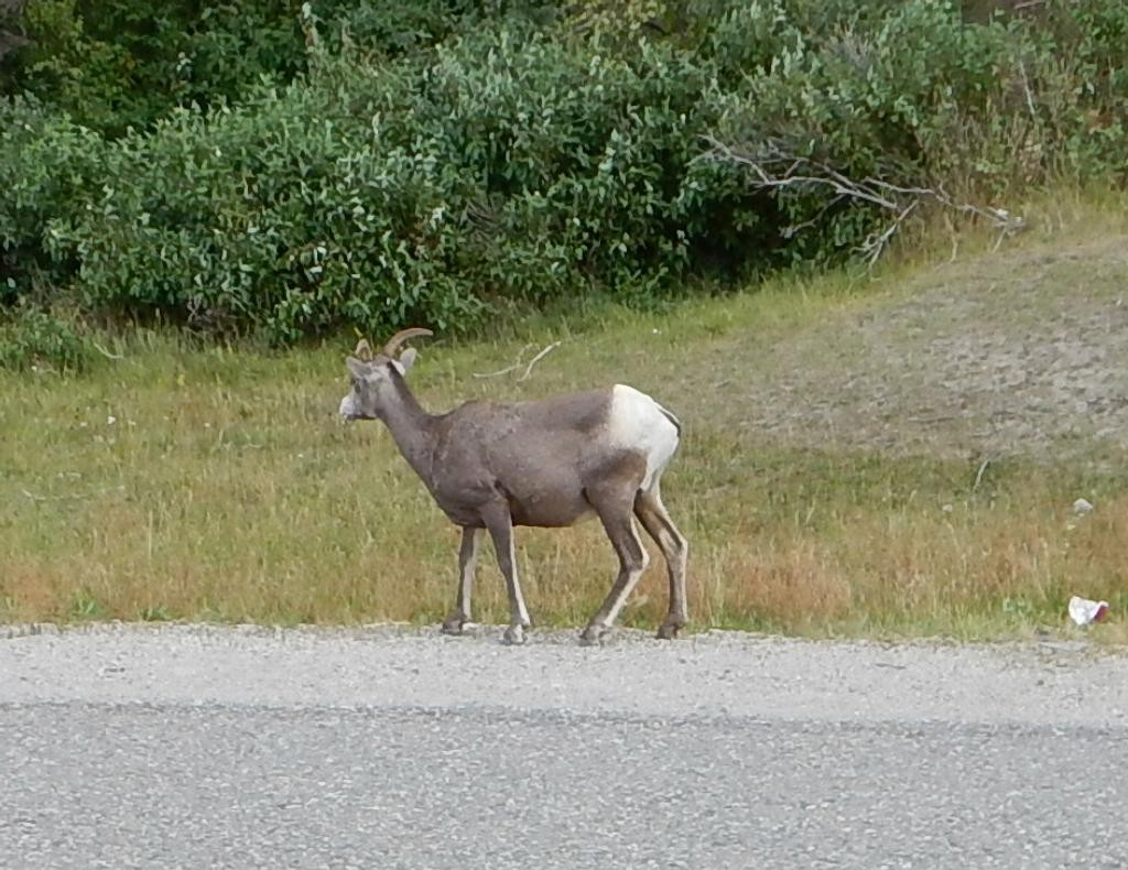 A female mountain sheep along the road.