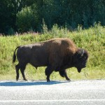 After seeing warnings about bison on the road, we saw this bull walking along the shoulder.