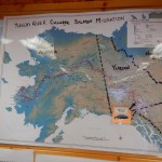 This map shows the 1875 miles of the Yukon River, and the trip these fish take to spawn.