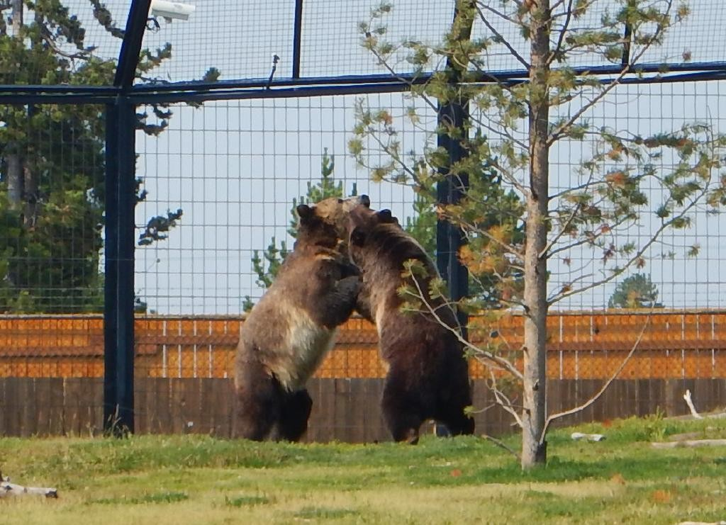 The nicest thing in West Yellowstone is the Grizzly & Wolf Discovery Center where they care for several grizzlies.