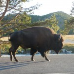 A big buffalo on the highway.